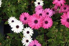 Purpere en witte bloemen stock foto's