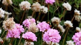Purpere en Witte Bloemen met Grote Zwarte en Gele Bij stock videobeelden