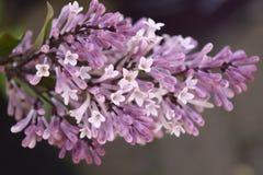 Purpere en witte Lilac bloem stock fotografie
