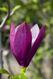 Purpere en witte magnoliabloem Royalty-vrije Stock Afbeeldingen