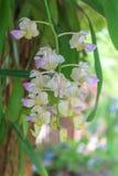 Purpere en witte orchideeën Stock Foto