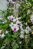Purpere en witte orchideeën in Koning Mongut University Stock Foto