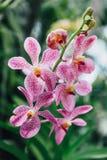 Purpere en Witte Orchideeën met Groene Bladerenachtergrond Royalty-vrije Stock Afbeeldingen