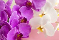 Purpere en witte orchidee Stock Afbeeldingen