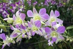 Purpere en Witte Tropische Orchidee Royalty-vrije Stock Afbeeldingen