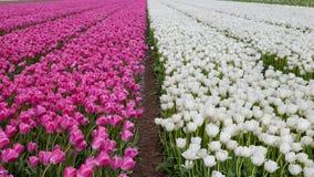 Purpere en witte tulpengebieden Stock Afbeelding