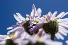 Purpere fleabanewildflowers Stock Afbeeldingen