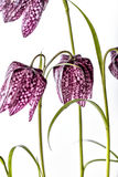 Purpere Fritillaria-meleagris op Witte Achtergrond stock foto's