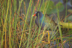 Purpere Gallinule in Everglades Royalty-vrije Stock Foto