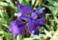 Purpere gebaarde iris met regendruppels op bloemblaadjes Stock Foto's