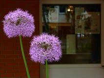 purpere gebied gevormde Allium bloeiende ui in voorgrond stock foto