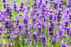 Purpere gebieden van lavendelbloemen royalty-vrije stock afbeeldingen