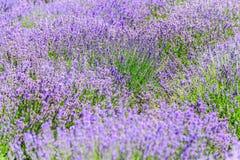Purpere gebieden van lavendelbloemen stock afbeelding