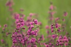 Purpere gebiedsbloemen op een groen gras stock afbeelding