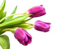 Purpere gekleurde tulpenbloemen Stock Foto