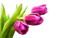 Purpere gekleurde tulpenbloemen Stock Afbeelding
