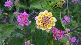 Purpere, Gele en Roze Lantana Stock Fotografie