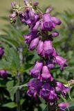 Purpere gemeenschappelijke digitalisbloemen, Vingerhoedskruid Purpurea stock foto's