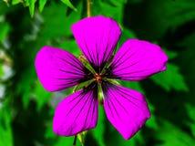 Purpere Geranium Groene Bladeren royalty-vrije stock afbeeldingen