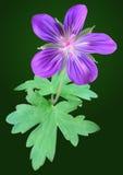 Purpere geraniumbloem Royalty-vrije Stock Afbeeldingen