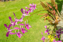 Purpere Hawaiiaanse Orchideeën royalty-vrije stock afbeelding