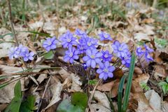 Purpere het bloeien Anemoonhepatica in het hout Royalty-vrije Stock Fotografie