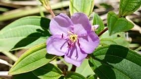 Purpere hibiscus Royalty-vrije Stock Afbeelding