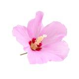 Purpere hibiscusbloem die op wit wordt geïsoleerde Stock Foto's