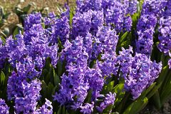 Purpere Hyacint Royalty-vrije Stock Afbeelding