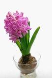 Hyacint Royalty-vrije Stock Afbeeldingen