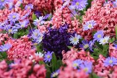 Purpere hyacint op een gebied van roze hyacinten Royalty-vrije Stock Fotografie