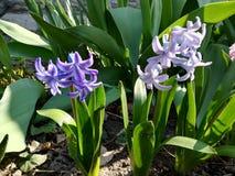 purpere hyacintbloemen in de bloei van de tuinlente stock foto