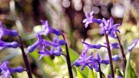 Purpere Hyacinten Stock Foto's