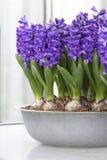 Purpere hyacinten Stock Afbeelding