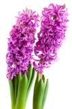 Purpere Hyacinten Royalty-vrije Stock Foto's