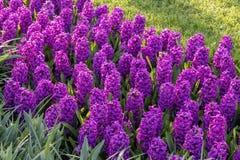Purpere Hyacinthus, Speciesorientalis, Hyacint Aantrekkelijke de lente bolvormige bloemen Hoogst geurig royalty-vrije stock foto's