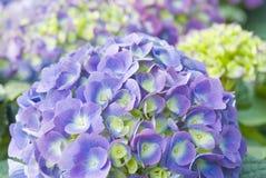 Purpere Hydrangea hortensia Royalty-vrije Stock Foto's