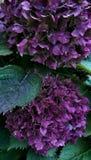 Purpere Hydrangea hortensia Royalty-vrije Stock Foto