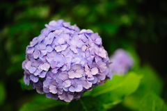 Purpere Hydrangea hortensia Hortensia royalty-vrije stock fotografie