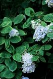 Purpere hydrangea hortensia's Stock Afbeelding