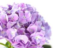 Purpere hydrangea hortensiabloem op witte achtergrond Stock Foto's