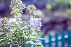 Purpere hydrangea hortensiabloemen in de de zomertuin Royalty-vrije Stock Afbeelding