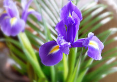 Purpere iris royalty-vrije stock foto's