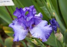 Purpere iris royalty-vrije stock afbeeldingen