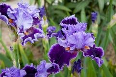 Purpere iris stock fotografie