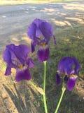 Purpere Iris Royalty-vrije Stock Foto