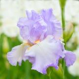 Purpere iris in aard royalty-vrije stock afbeelding