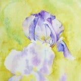 Purpere iris op een gele achtergrond Fragment van waterverfdrawi stock illustratie