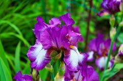 Purpere iris, violette bloemen in tuin Royalty-vrije Stock Foto's