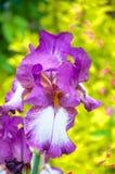 Purpere iris, violette bloemen in tuin royalty-vrije stock afbeeldingen